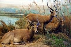 animal, prairie, nature, mammal, waterbuck, fauna, wildlife,