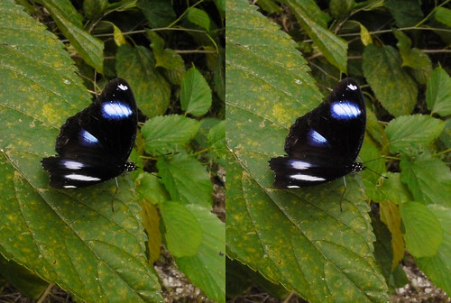 Hypolimnas bolina, stereo parallel view