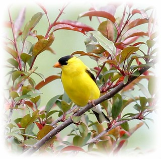 Male Goldfinch on Crab Apple Tree