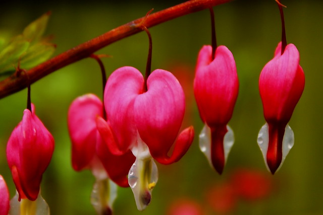 Bleeding Heart Flowers Look Like Broken Heart Flickr