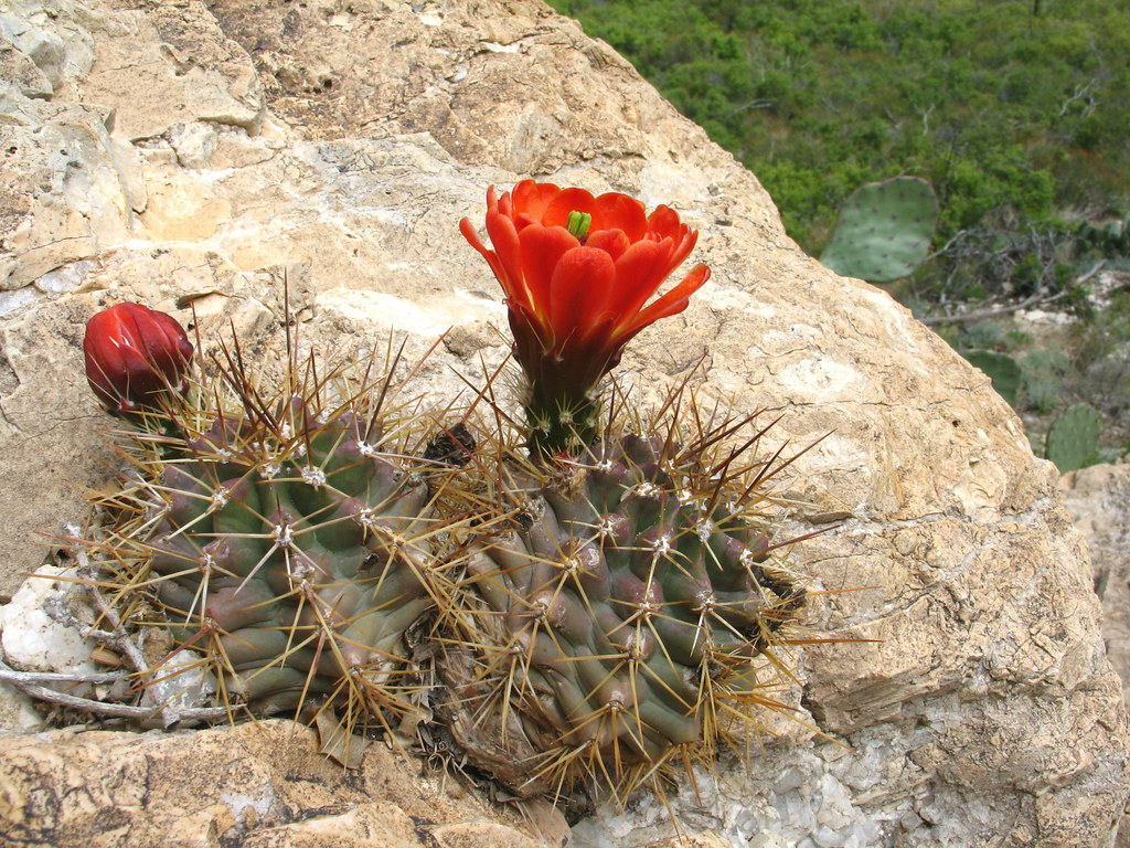 New mexico eddy county - Echinocereus Triglochidiatus White Mule Canyon Guadalupe Mountains Lincoln National Forest Eddy County New Mexico 1