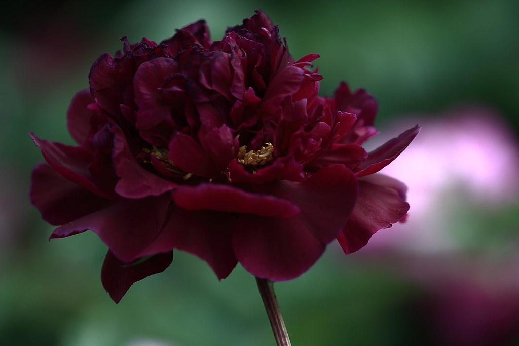 黑牡丹 Black peony 6