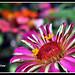 FLOR DE NASCENÇA DA MALMEQUER -  Marigold flower bud unfolding - by Estevam Cesar