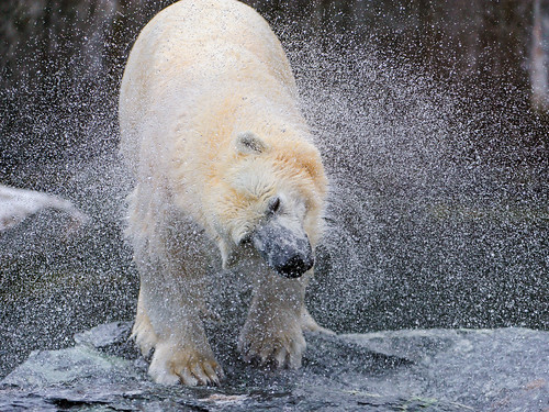 Shaking polar bear II