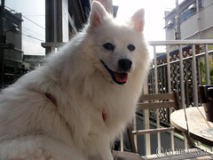 dog breed, animal, german spitz klein, dog, eurasier, japanese spitz, pet, norwegian buhund, volpino italiano, german spitz, white shepherd, canadian eskimo dog, mammal, berger blanc suisse, kishu, german spitz mittel, american eskimo dog, samoyed,