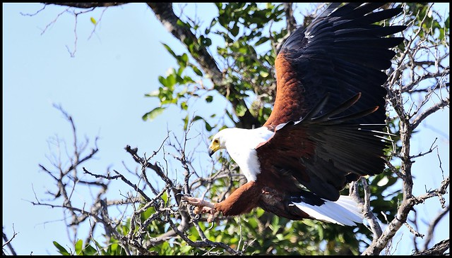 Visarend / African Fish-Eagle