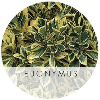 Euonymus japonicus Bravo