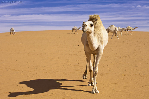 Shadow of Camel by TARIQ-M