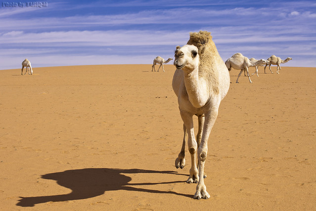 Shadow of Camel