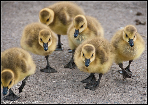 The march of the chicks
