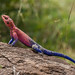 Small photo of Flat Headed Agama Masai Mara