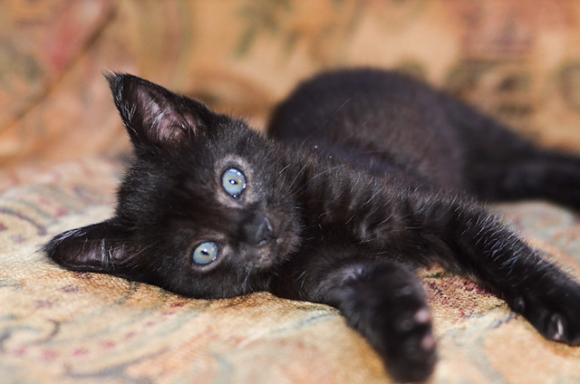A small black kitten with blue eyes laying on a couch.