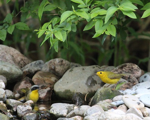 Commom yellow throat and Wilson's warblers by ricmcarthur