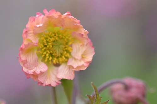 GEUM 'Fancy Frills'