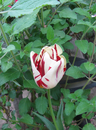 Red white tulip
