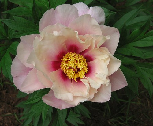 "Intersectional Peony ""First Arrival."" by Leenechan"