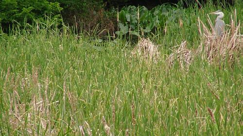葦原とアオサギ