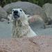 Eisbär Augo im Zoo Aalborg