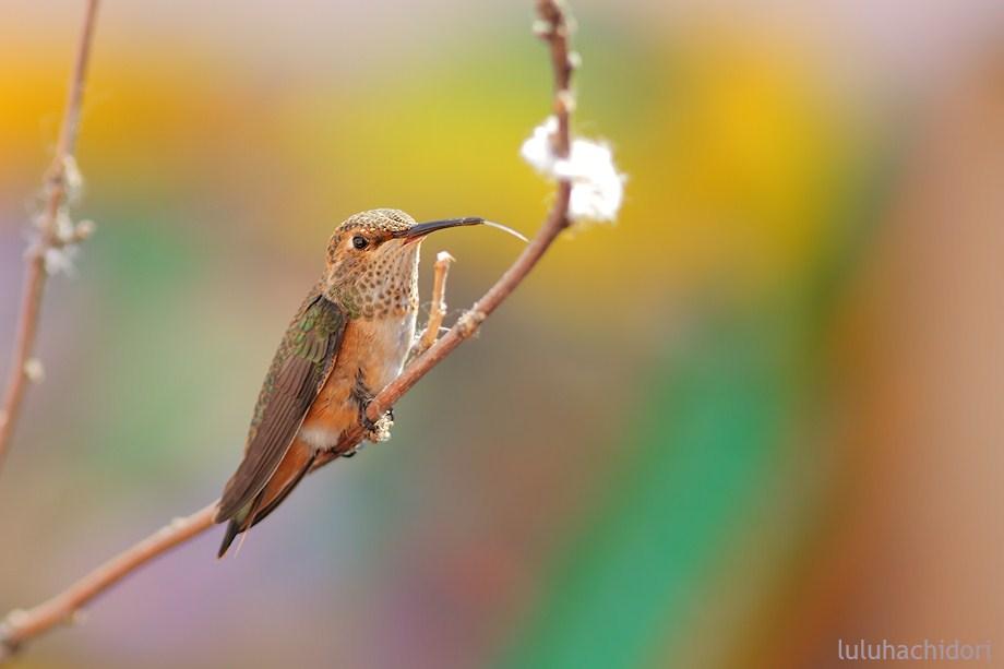 Allen's Hummingbird 052912-2