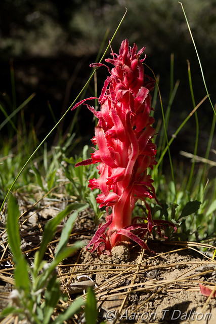 A Red Snow Plant