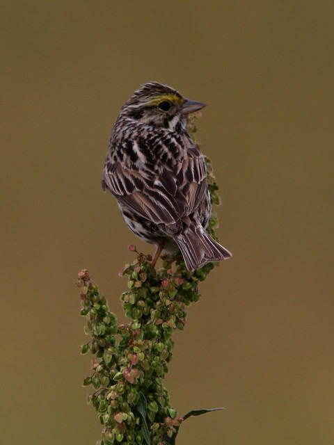 Savannah Sparrow 20120601