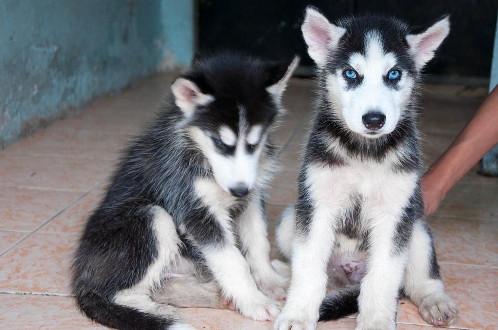 Bán chó Husky mắt xanh 6tr tuyệt đẹp - 5