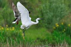 animal, prairie, wing, fauna, meadow, heron, beak, crane-like bird, bird, wildlife, egret,
