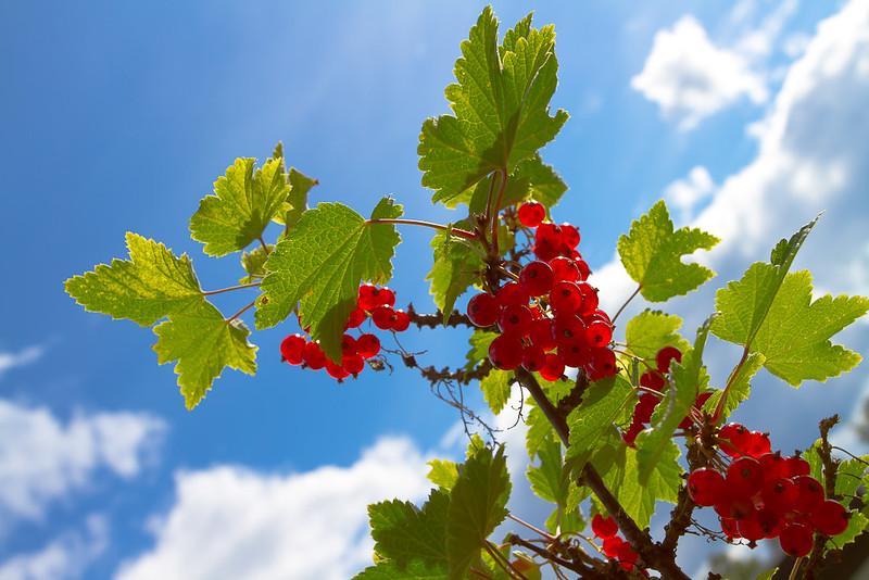 röda-vinbär-103.jpg
