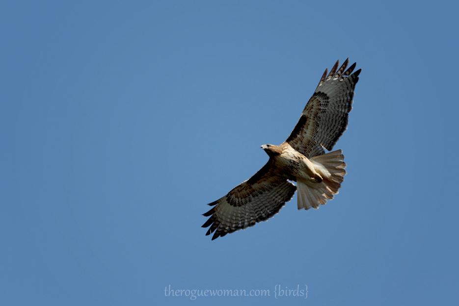 053012_02_bird_redTailedHawk