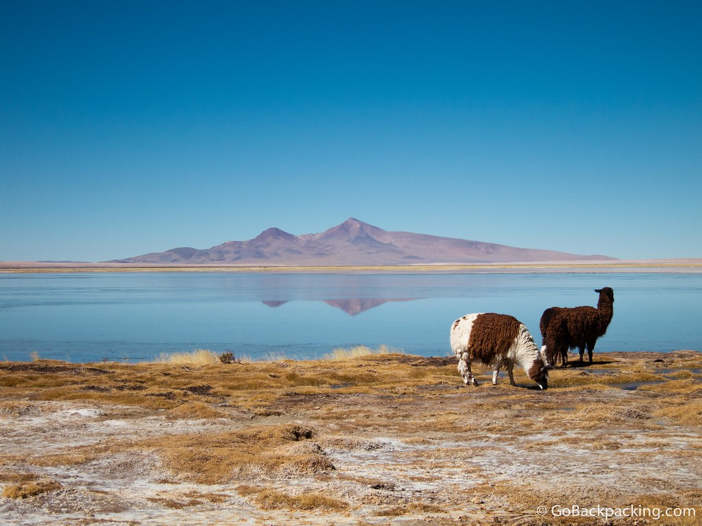 Llamas grazing by the water
