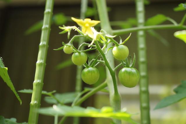 サントリー本気野菜トマトの実が5つ