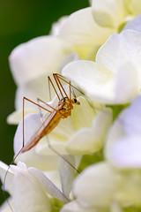 Bug on Hydrangea (Matsudo, Chiba, Japan)
