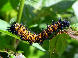 Baltimore checkerspot caterpillar