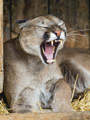 Yawning cougar