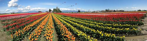 flowers blue red panorama orange usa white water yellow clouds barn washington spring skies purple mud tulips rows valley tulip skagit tuliptown