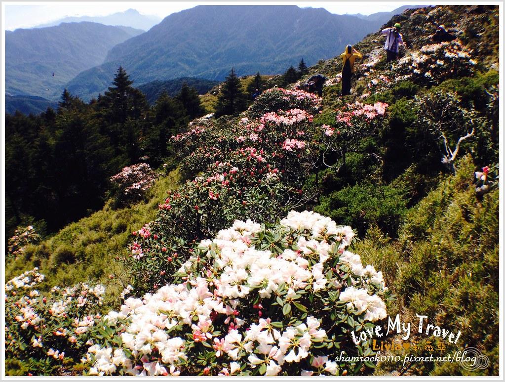 合歡山杜鵑花 - 14