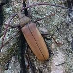diófacincér - Aegosoma scabricorne