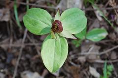 Toadshade, Trillium sessile
