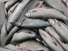 mackerel(0.0), cod(0.0), forage fish(0.0), tilefish(0.0), bonito(0.0), barramundi(0.0), tilapia(0.0), sardine(0.0), milkfish(0.0), animal(1.0), fish(1.0), fish(1.0), oily fish(1.0),