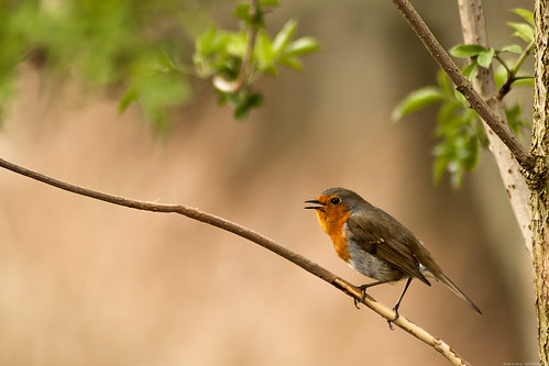 Robin in Song 5th-April-12 (14/52)