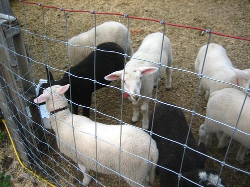 Lambs begging