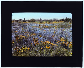 [Field of poppies and lupin, California] (LOC)