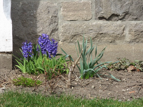 Hyacinth by susanvg