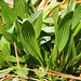 Plantago lanceolata- english or narrow leafed plaintain
