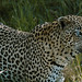 Small photo of A Leopard with an eye infection