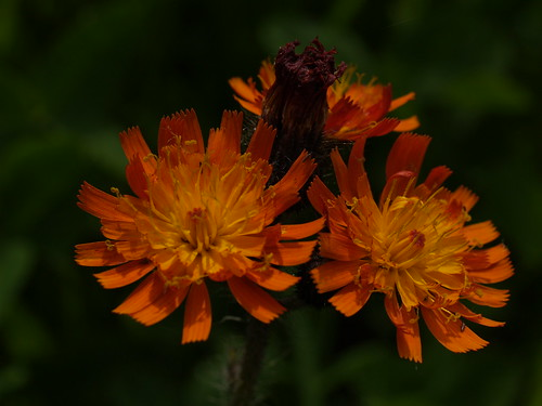 havikskruid  Orange hawkweed, Devil's paintbrush