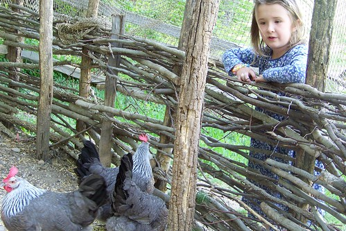 C7 and the chickens