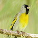Lawrence's Goldfinch - IMG_5630 by arvind agrawal