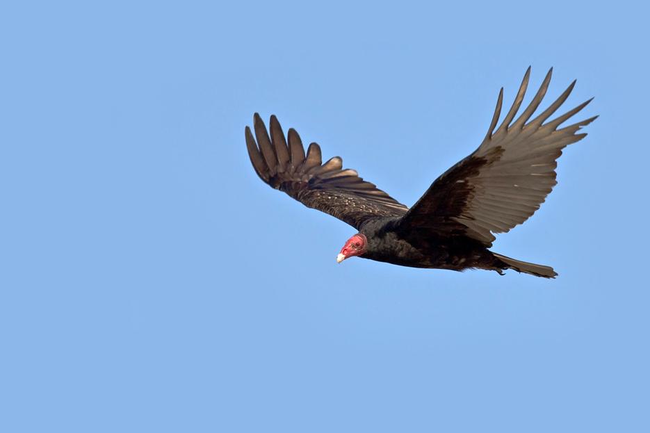 042112_01_bird_turkeyVulture