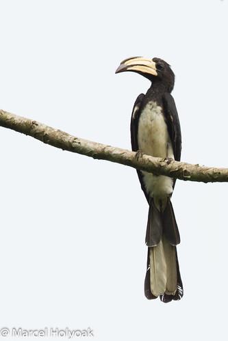 birds cameroon littoral hornbills africanpiedhornbill tockusfasciatus sanagariver